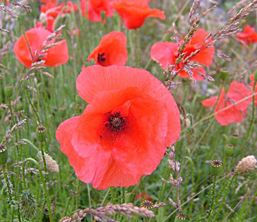 Poppy,-Common Red Poppy Houseplants on flowers red, berries red, pots red, mums red, nature red, design red, animals red, ornamental grasses red, cactus red, peppers red, orchids red,