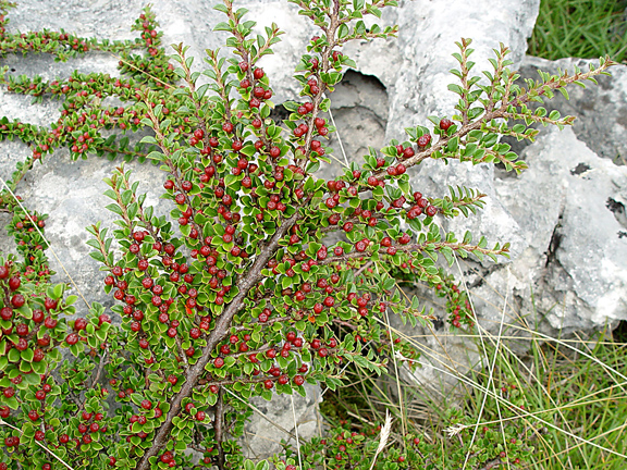 Wall Cotoneaste